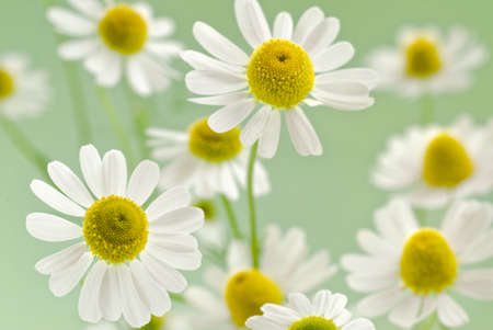 fresh camomile flowers on a delicate green background