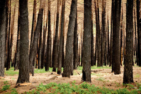 burnt wood: black trees in a burnt forest