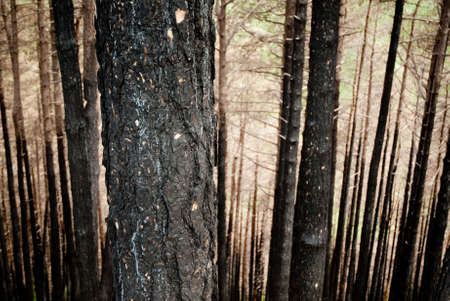 negligence: charred trunk in a burnt forest