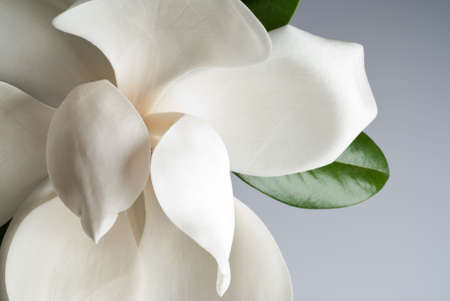 flowered magnolia over shaded background