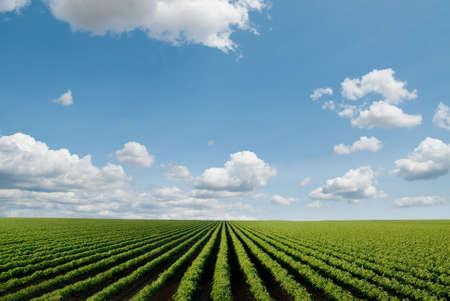 Feld mit Reihen von Pflanzen in der Perspektive, große Teile des Himmels