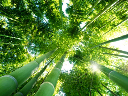 japones bambu: vista de �ngulo bajo de ca�as verdes en un bosque de bamb�
