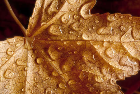 nervation: rain drops on dried leaf in autumn Stock Photo
