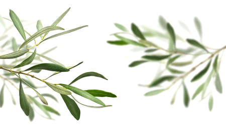 foglie ulivo: rami degli alberi di ulivo isolato su bianco, quello di destra è completamente sfocata Archivio Fotografico