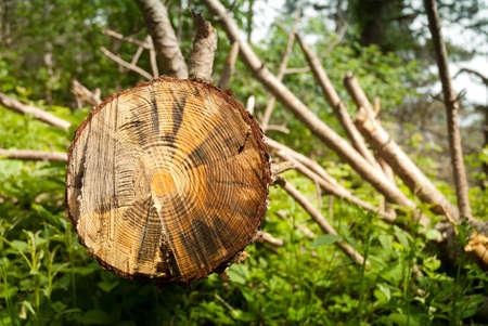 tagliata verso il basso albero durante l'attività di deforestazione