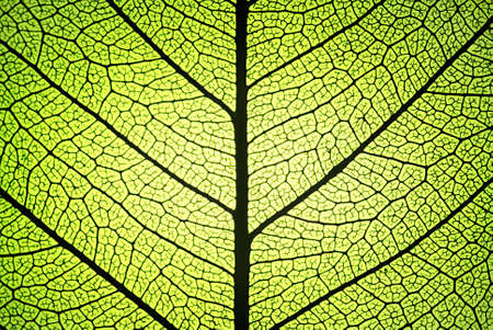 propagation: leaf detail showing ribs and veins in backlight