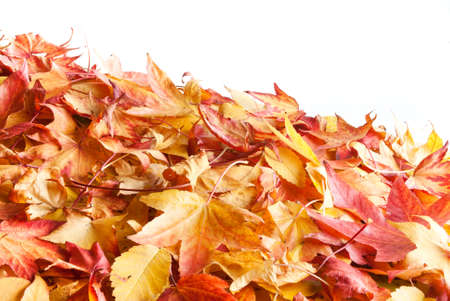underbrush: colourful autumnal leafs isolated on white background