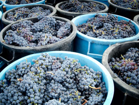 containers full of grapes during the harvest photo