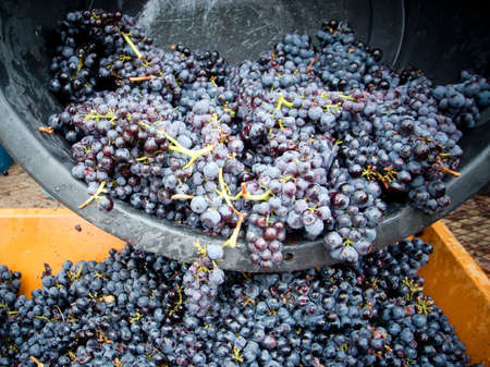 bunches: container with grapes during the harvest