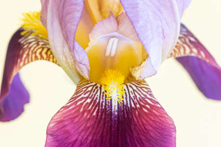 Macro shot of a single iris flower