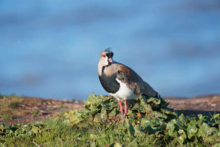 lapwing: Southern lapwing on the grass field Stock Photo