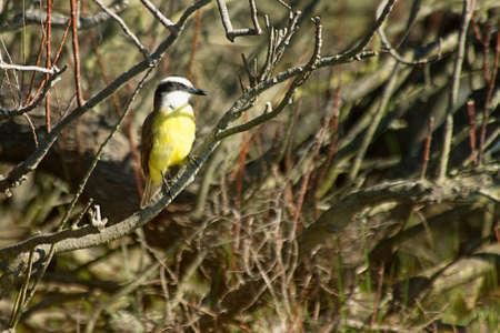 tyrant: tyrant flycatcher perched on a bush