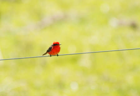 tyrant: Red Spectacled Tyrant perched on a wire Stock Photo