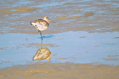 Godwit sea fishing in the lagoon Stock Photo