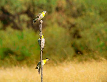 flicker: Field flicker woodpecker Stock Photo