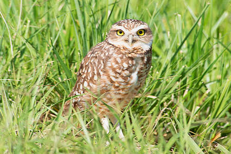 Burrowing owl on the grass field Stock Photo