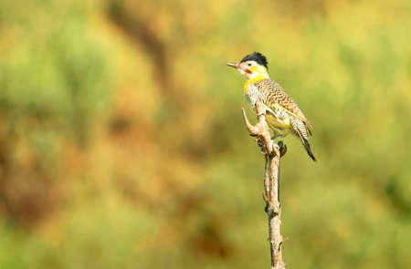 flicker: Field flicker, woodpecker on a pole