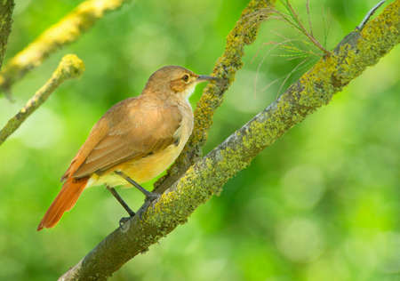 Rufous hornero perched on a branch Stock Photo