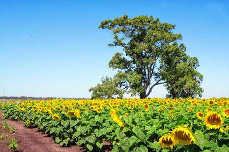Sunflowers field in summer, in Argentina