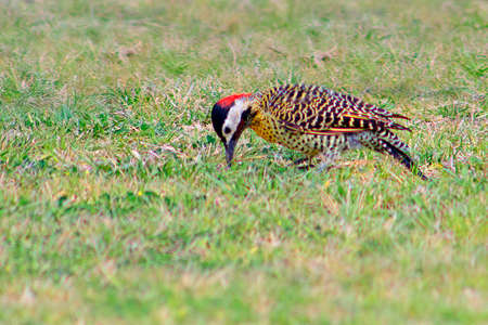 Woodpecker Field flicker chasing insects on the grass field