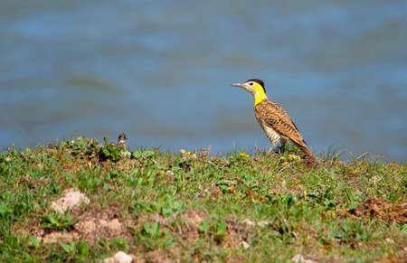 Woodpecker Field flicker on the sea shore 免版税图像