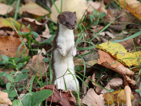 pygmy:  Least weasel in the leaves