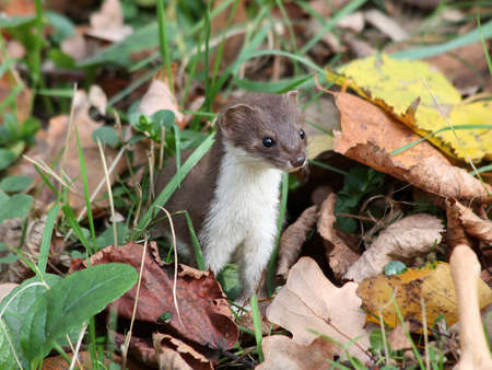 Least weasel crouching in the leaves Stock Photo