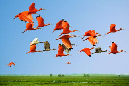 Kudde van dieprode en witte ibissen in vlucht boven groene weide met blauwe hemelachtergrond (vliegende vogels)