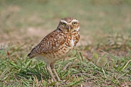 burrowing: Burrowing owl on the grass in Venezuela