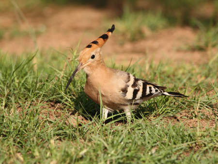 coraciiformes:  Hoopoe in the grass. Side-view. Archivio Fotografico