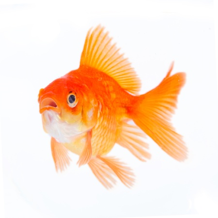 Gold fish. Isolation on the white  photo