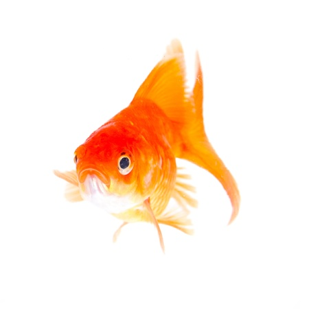 Gold fish. Isolation on the white  Stock Photo - 19311053