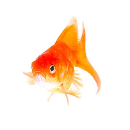 Gold fish. Isolation on the white Stock Photo - 19311053