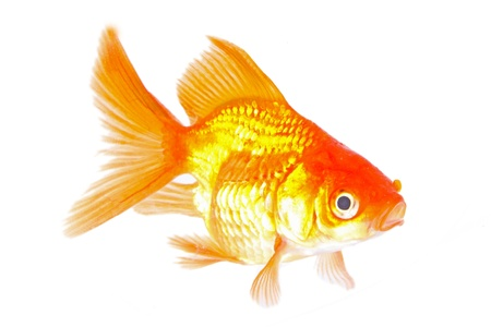 Gold fish. Isolation on the white  Stock Photo - 19320667