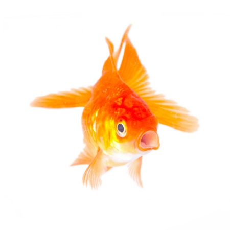 Gold fish. Isolation on the white  Stock Photo - 19320675