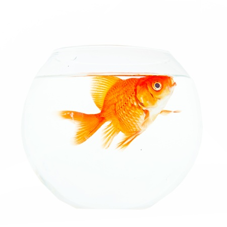 Gold fish. Isolation on the white  Stock Photo - 19320683