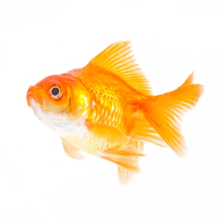 Gold fish. Isolation on the white Stock Photo - 19320684