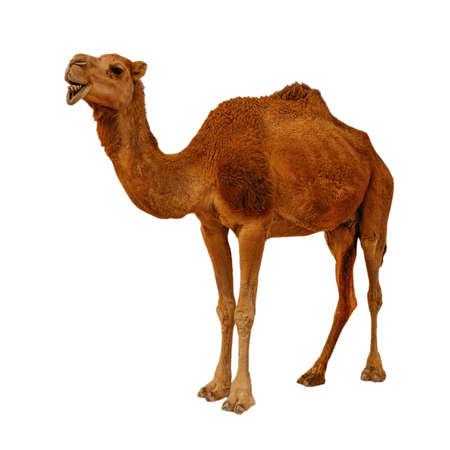 Camel isolated on the white background Stock Photo
