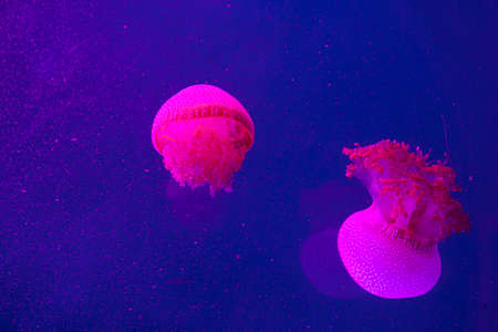 Bright pink jellyfish on the blue background Imagens
