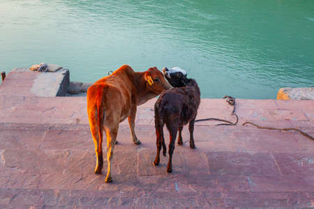 Cows on the streets of the holy city Rishikesh, India