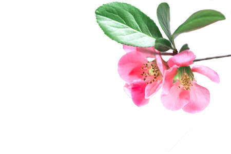 Pink cherry blossom isolated on white Imagens