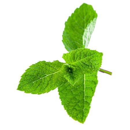 Fresh bright green aromatic mint leaf isolation