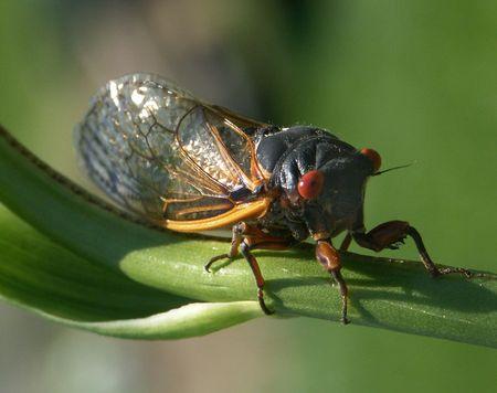 brood: Brood X Cicada