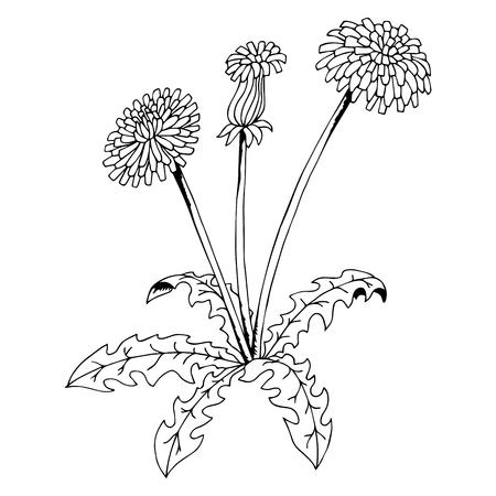 dandelion flower: Taraxacum dandelion flower graphic art black white isolated illustration vector Illustration