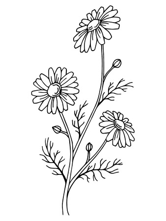 chamomile flower: Chamomile flower graphic art black white isolated illustration vector