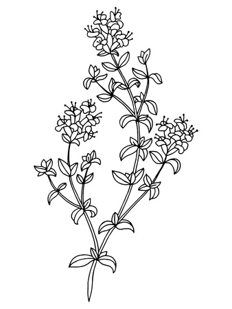 Thyme herb flower graphic art black white isolated sketch illustration vector