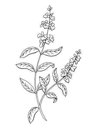 salvia: Salvia sage herb flower graphic art black white isolated sketch illustration vector Illustration