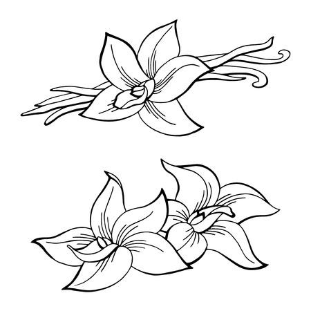 Vanilla pod flower graphic black white isolated sketch illustration vector