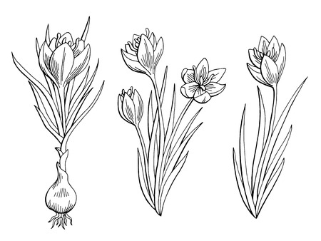 Saffron graphic flower black white isolated sketch illustration vector