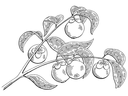 Mangosteen fruit graphic branch black white isolated sketch illustration vector Illustration